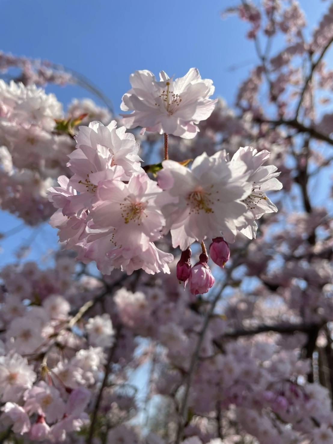 桜 永光トーヨー住器の現場ブログ 写真1